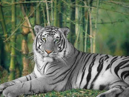 White Tiger Cats Animals Background Wallpapers On Desktop Nexus