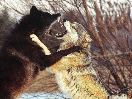 Wolves Fighting - Dogs & Animals Background Wallpapers on ...
