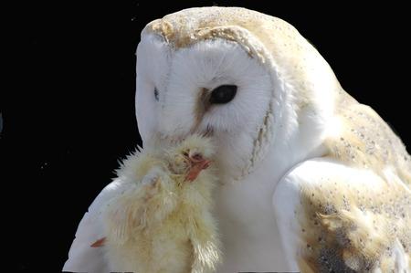 Feeding of a white Owl - white owl, widescreen, wds, feeding, owl