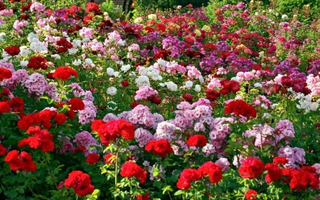 Chandigarh Rose Garden India Flowers Nature Background