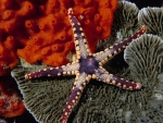 coral reef starfish