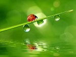Ladybug and water drops