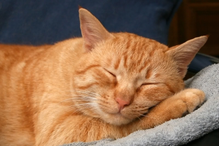 Ginger Cat Cats Animals Background Wallpapers On Desktop