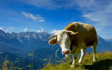 Alpine cow - Alpine, Grassland, Green, Cow, Mountain