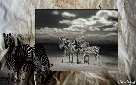 ZEBRA'S IN BLACK AND WHITE - ABSTRACT, ANIMALS, ZEBRA, IMAGE