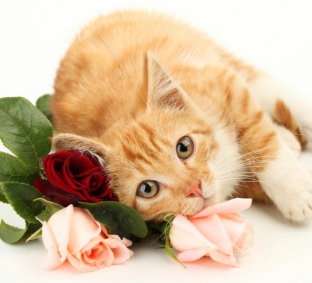 I know you need some flowers today - orange, rose, ginger, valentine, cat, card, cute, flower, white, pisica