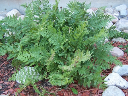 Fern - Native Plants, Mountains, Landscape, Plants