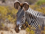 Grey's Zebra-endangered