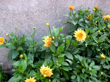 Beautiful yellow garden dahlias - Yellow, Garden, Summer, Dahlia, Plant