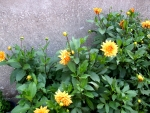 Beautiful yellow garden dahlias