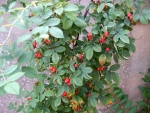 Rosehip berries on a large rose tree