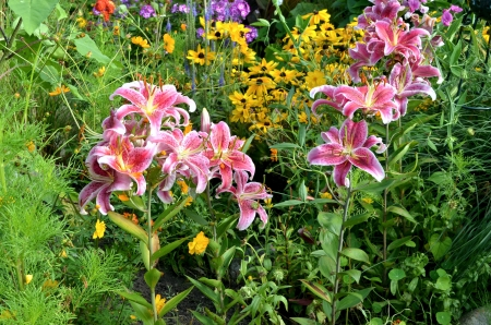 Summer Flowers - lilies, colors, plants, leaves, blossoms, petals, coneflowers
