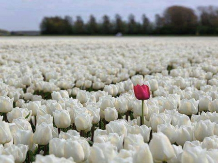 Standing out - tulips, white, ed, field