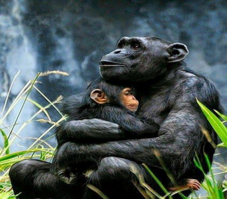 Safe and warm - baby, love, mother, chimps