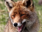 Laughing Fox