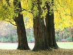 Ginkgo biloba (Maidenhair Tree)