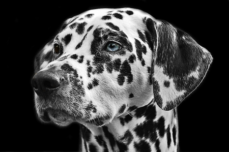 Dalmatian - dalamatian, blue eye, bw, black, face, white, portrait