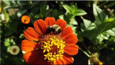 bumblebee on a zinnia - closeup photo, bumblebee nap, bright flowers, zinnia pollinator
