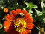 bumblebee on a zinnia