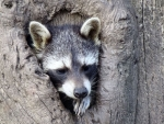 Raccoon in Tree Hollow