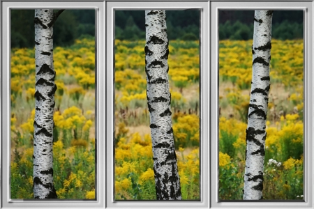 Birches Through Window - scenery, landscape, photography, birch trees, window effect, beautiful, photo