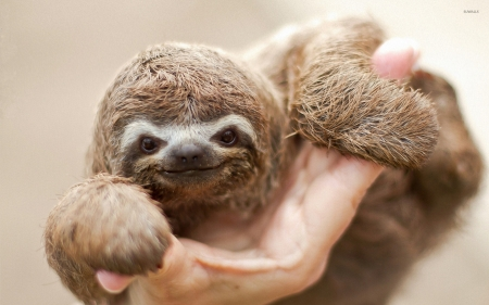 Mischeivous baby sloth - Baby, Megalonychidae, Sloth, Choloepus