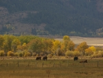 Cattle Grazing, Teton Valley, Idaho