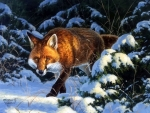 ..Fox in Snow..