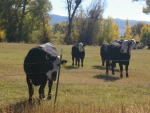 Cows in Pasture, Victor, Idaho