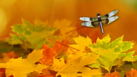 Dragonfly and Autumn Leaves - fallen leaves, fall, gold, maple, dragonfly, autumn, orange, leaves, Firefox Persona theme