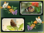 FRAMED BUTTERFLIES#3