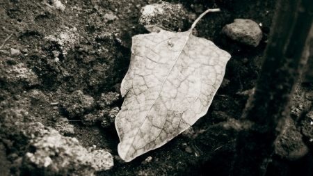 withered - black and white, nature, leaves, time