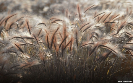Bent-grass - bent-grass, field, wild, nature