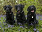 Three Black Labradors