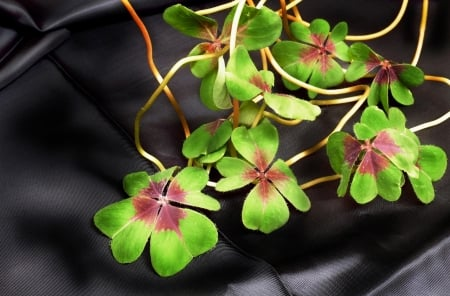 Shamrock, - Four leaved, Narure, Green, Luck, Shamrock, Clover