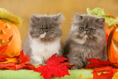 Persian kittens in autumn - fall, autumn, fluffy, kittens, adorable, sweet, cute, persian, leaves, cats