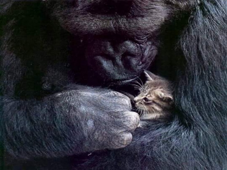 Giant love - baby, ape, kitten, mother, primate