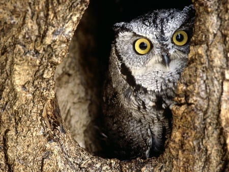 Peeking owl - bird, owl, tree