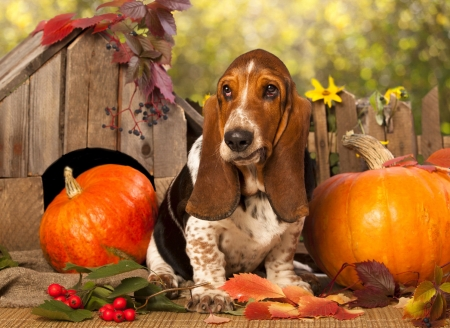 basset hound and pumpkin dogs