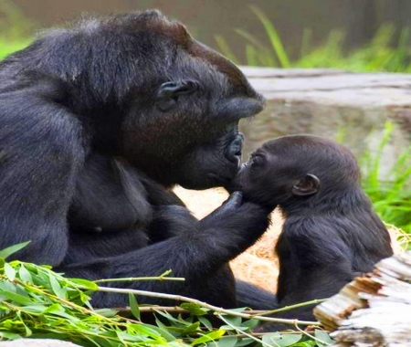 Chat with Mom - baby, apes, mother, primate