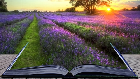 Book of Lavender - fragrant, book, summer, sunrise, sunset, lavender, collage, field