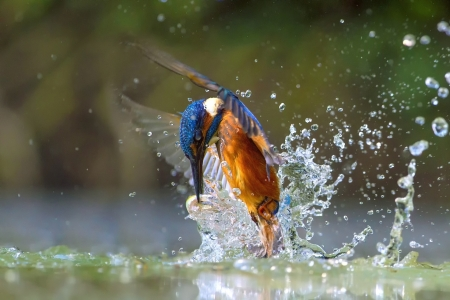 Splashing Kingfisher
