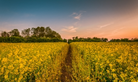Rapeseed-Field - tree, Field, Rapeseed, Nature