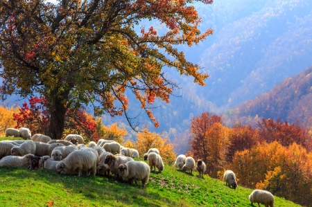 Sheeps - sheep, autumn, lamb, field, animal
