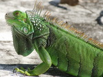 Wild iguana posing inside of an empty pool