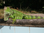 Wild green Iguana resting near an empty pool