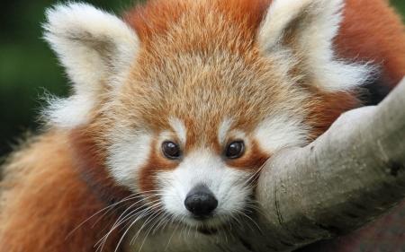 Red Panda Other Animals Background Wallpapers On Desktop Nexus Image 2190528