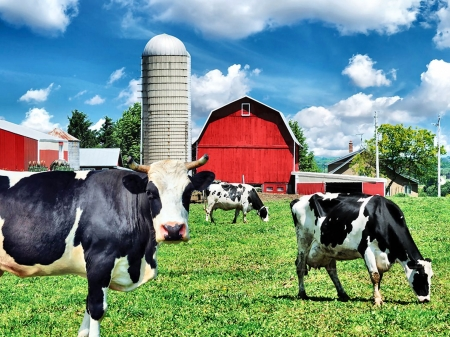 Cows on the Farm  - farm, photo, photography, silo, wide screen, beautiful, farm animals, cows