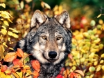 Autumn Gray Wolf