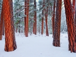 Gorgeous Snowy Forest